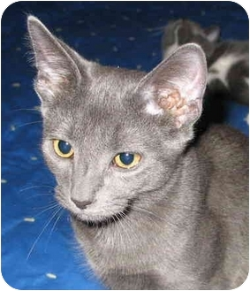 Domestic Shorthair Cat for adoption in Cincinnati, Ohio - Frisco kitten - LUVbug