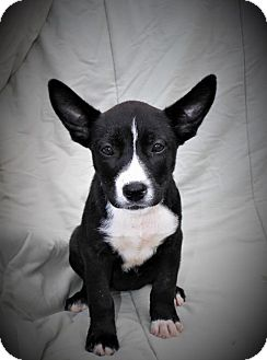 Australian Cattle Dog Mix Puppy for adoption in Norfolk, Virginia - PUPPY FANTASIA