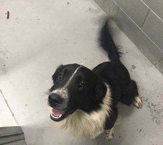 Border Collie Mix Dog for adoption in Fairfax Station, Virginia - Hart