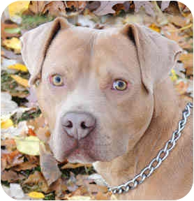 American Pit Bull Terrier/American Staffordshire Terrier Mix Dog for adoption in Chicago, Illinois - Magnum