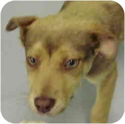 Shepherd (Unknown Type) Mix Puppy for adoption in Kansas City, Missouri - Courtesy List-Paprika