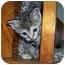 Photo 1 - Domestic Shorthair Kitten for adoption in Brighton, Michigan - Chocolate