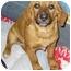 Photo 3 - Golden Retriever/Beagle Mix Puppy for adoption in Buffalo, New York - Marti