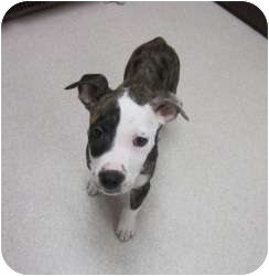 American Pit Bull Terrier/Hound (Unknown Type) Mix Puppy for adoption in Bloomfield, Connecticut - Hartlyn