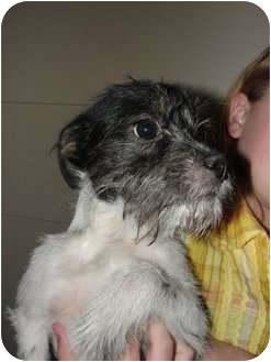 Jack Russell Terrier Mix Puppy for adoption in Astoria, New York - Toto