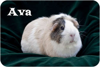 Guinea Pig for adoption in Fullerton, California - Ava & Jem