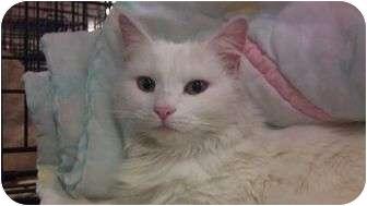 Domestic Longhair Cat for adoption in Modesto, California - Luna