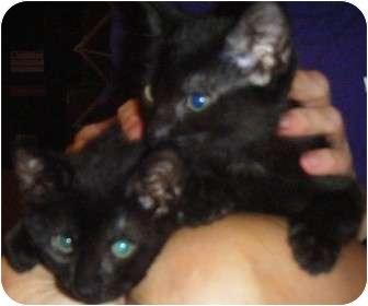 Domestic Shorthair Kitten for adoption in Kensington, Maryland - Jilly & Tilly