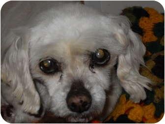 Maltese Dog for adoption in Newport, Vermont - Wanda