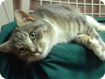 Domestic Shorthair Cat for adoption in Staunton, Virginia - Jonah