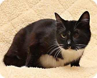 Domestic Shorthair Cat for adoption in Bellingham, Washington - Missy
