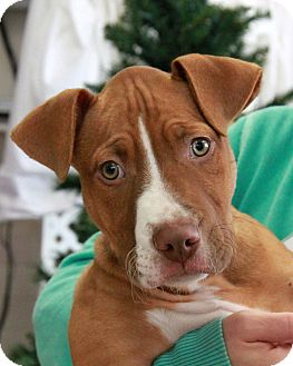 Pit Bull Terrier Puppy for adoption in New Rochelle Humane, New York - Junior
