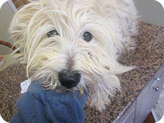 Westie, West Highland White Terrier Dog for adoption in Oak Ridge, New Jersey - Zoey