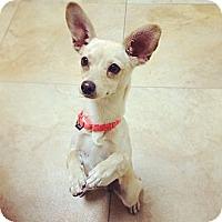 Adopt A Pet :: Tulip - Mission Viejo, CA