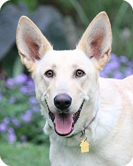 German Shepherd Dog/Labrador Retriever Mix Dog for adoption in Nashville, Tennessee - Jewel
