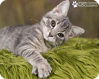 Domestic Shorthair Kitten for adoption in Plymouth, Minnesota - Michelangelo