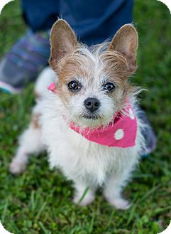 Terrier (Unknown Type, Small)/Terrier (Unknown Type, Small) Mix Dog for adoption in Glastonbury, Connecticut - Penny