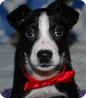 Terrier (Unknown Type, Small)/Sheltie, Shetland Sheepdog Mix Puppy for adoption in Waupaca, Wisconsin - Brock