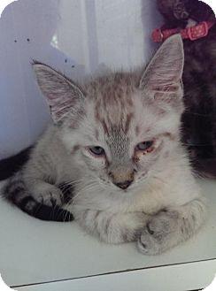 Siamese Kitten for adoption in Columbia, South Carolina - Slick