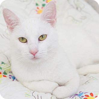 Domestic Shorthair Cat for adoption in Naperville, Illinois - Chewey