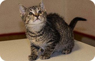 Domestic Shorthair Kitten for adoption in Napoleon, Ohio - Carol