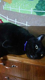 Domestic Shorthair Cat for adoption in Walla Walla, Washington - Tyler