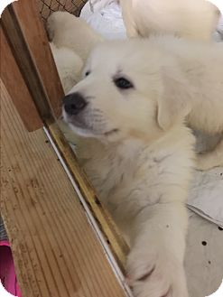 Great Pyrenees Puppy for adoption in Granite Bay, California - PUPPIES 4