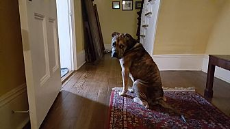 Boxer/Hound (Unknown Type) Mix Dog for adoption in Nashua, New Hampshire - Gordon