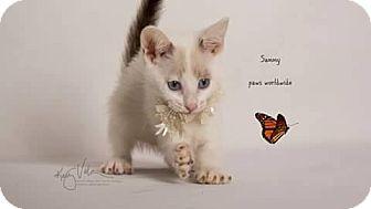 Snowshoe Kitten for adoption in Corona, California - SAMMY