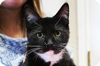 Domestic Mediumhair Kitten for adoption in Flower Mound, Texas - Poncho
