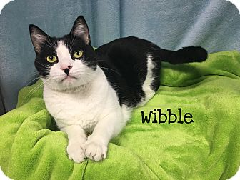 Domestic Shorthair Cat for adoption in Foothill Ranch, California - Wibble