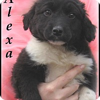 Adopt A Pet :: Alexa- Adoption Pending - Marlborough, MA