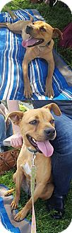 Boxer/Pit Bull Terrier Mix Dog for adoption in Chantilly, Virginia - Queenie