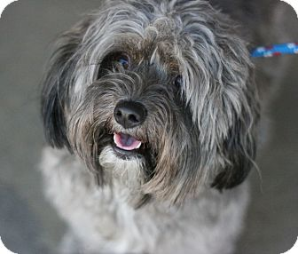 Maltese/Terrier (Unknown Type, Small) Mix Dog for adoption in Canoga Park, California - Teddie