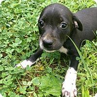 Adopt A Pet :: Kona - Goodlettsville, TN