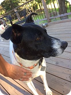 Border Collie/Cattle Dog Mix Dog for adoption in Ada, Minnesota - Margo Fostered in Minneapolis