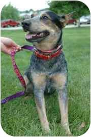 Australian Cattle Dog Dog for adoption in Walker, Michigan - Ruby