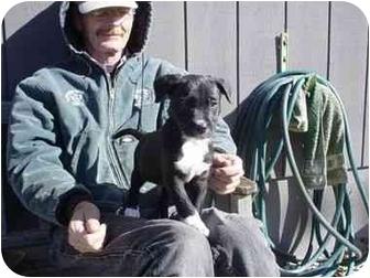 Terrier (Unknown Type, Small) Mix Puppy for adoption in Stockton, Missouri - Little Duke