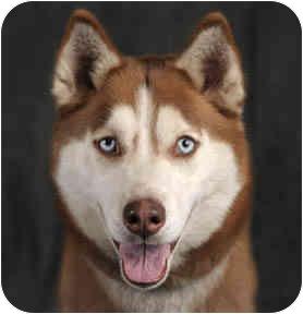 Husky Dog for adoption in Chicago, Illinois - Chelsea