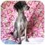 Photo 2 - Poodle (Standard) Dog for adoption in Marion, North Carolina - Missi