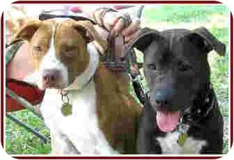 Pit Bull Terrier/Boxer Mix Dog for adoption in Kingwood, Texas - Bogart
