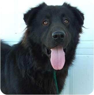Tibetan Mastiff/Newfoundland Mix Dog for adoption in Harper, Texas - Bear