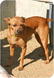 Chihuahua Mix Dog for adoption in Los Angeles, California - LONDON