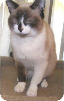 Siamese Cat for adoption in Cleveland, Ohio - Sugar Plum