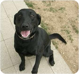 Labrador Retriever Mix Dog for adoption in Meridian, Idaho - Sloan