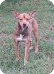 Beagle/Rat Terrier Mix Dog for adoption in Hollis, Maine - Paul
