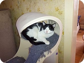 Domestic Shorthair Cat for adoption in london, Ontario - Buttons