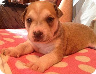 Pit Bull Terrier Mix Puppy for adoption in Asheboro, North Carolina - Lotus