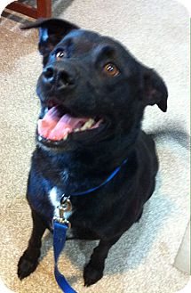 Labrador Retriever Mix Dog for adoption in Chattanooga, Tennessee - Sanford
