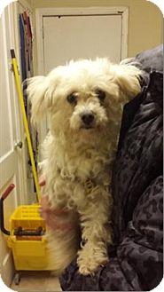 Maltese/Poodle (Miniature) Mix Dog for adoption in Freeport, New York - Little Lulu